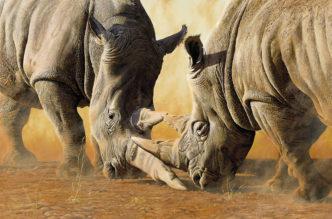 Tsavo Showdown