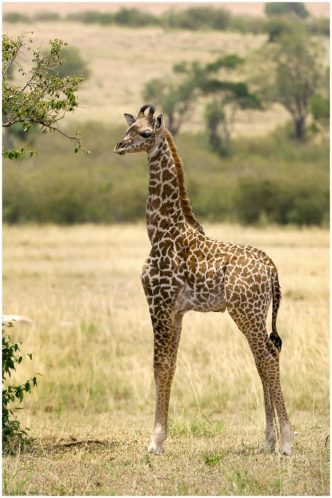 Waiting for Mum (Giraffe) signed limited edition framed print by Paul Haddon