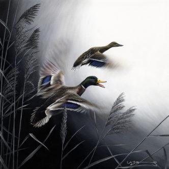 Mallard Ducks (In Flight Series)