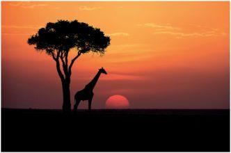 Sundowner in the Massai Mara (Giraffe Sunset) signed limited edition framed print by Paul Haddon