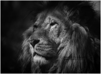 The Wise One (Lion) signed limited edition framed print