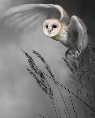 Twilight Flight Barn Owl by Nigel Hemming