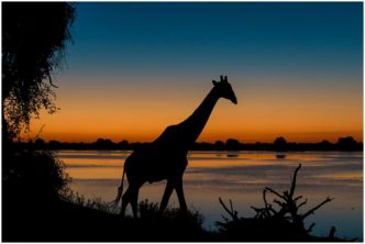 Deepening Shadows (Giraffe at sunset) signed limited edition framed print by Paul Haddon