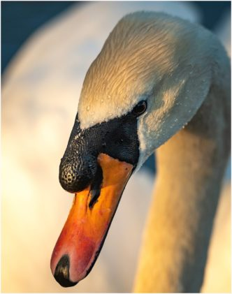 Swan Print His Majesty framed signed limited edition by Paul Haddon