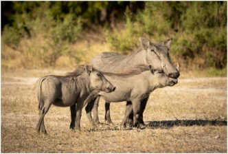 A Special Moment, Warthog, Botswana, Signed limited edition framed print by Paul Haddon