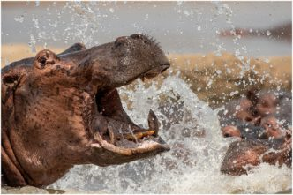 Angry Hippo - Zambia signed limited edition framed print by Paul Haddon
