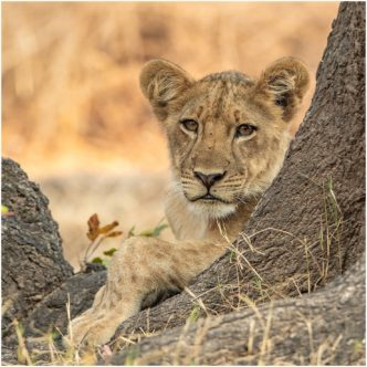 Just ChillingLion Cub Zambiasigned limited edition framed print by Paul Haddon