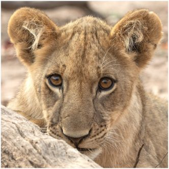 Little Mischief, Lion Cub Zambia signed limited edition framed print by Paul Haddon