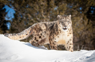 Ghost Cat, Snow Leopard